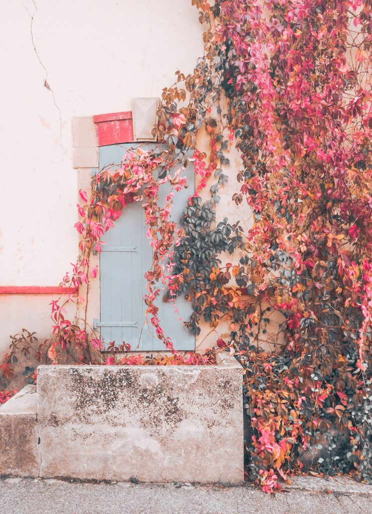 wall at vineyard in provence with colorful ivy
